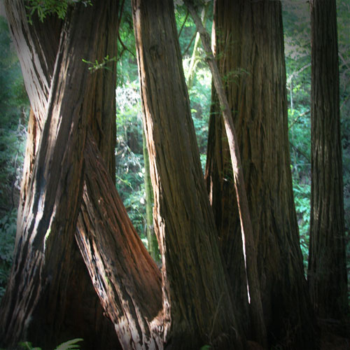 Trees in the Muir Woods National Monument