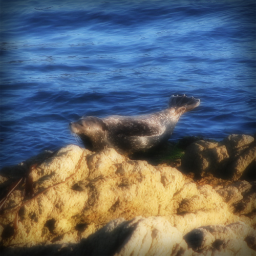 Harbor seal sunning on a rock just off shore.
