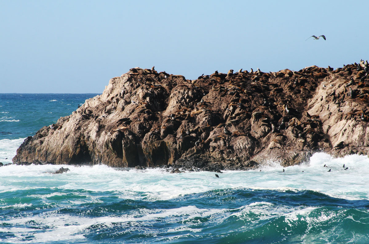 Large rocks completely covered in seals.